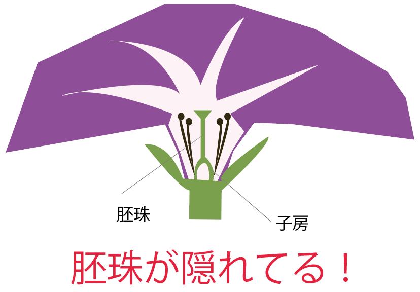 アサガオ(朝顔)