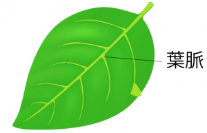 葉のつくり