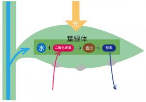 光合成 仕組み 中学 図